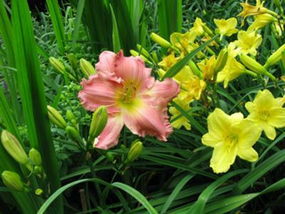 Looking For Prolific Bloomers Plant Prolific Perennials