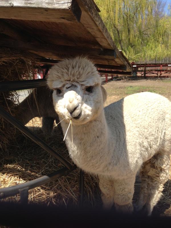 Silverman's Llama