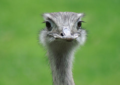 "The ostrich says ""Yawp!"""
