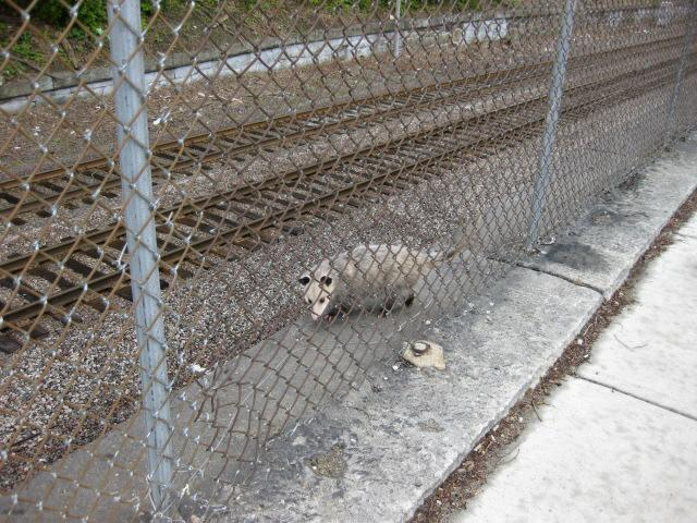 Possum made it down along the tracks