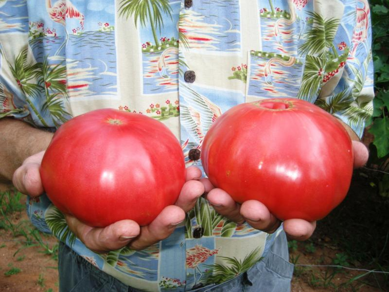 Paul's mortgage lifter tomatoes 2008
