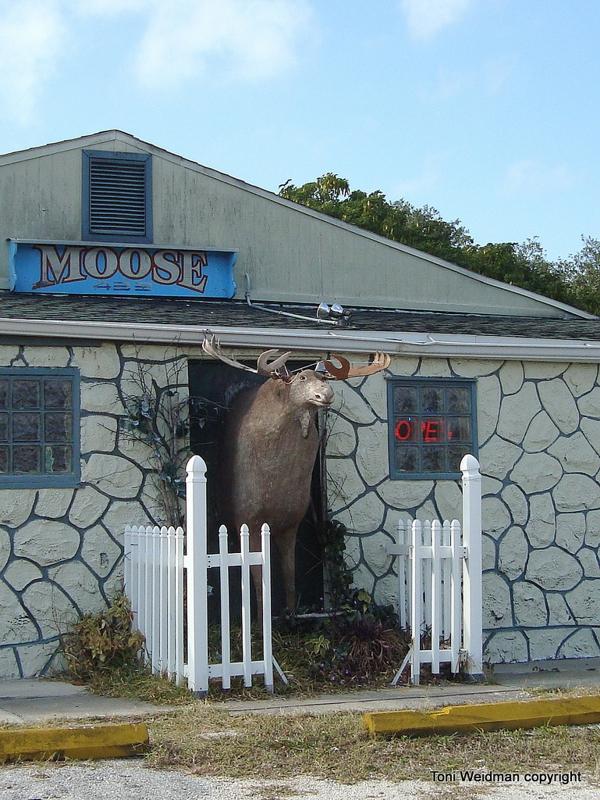 Florida Moose for Moose Monday