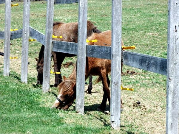 maine farm horses grazing
