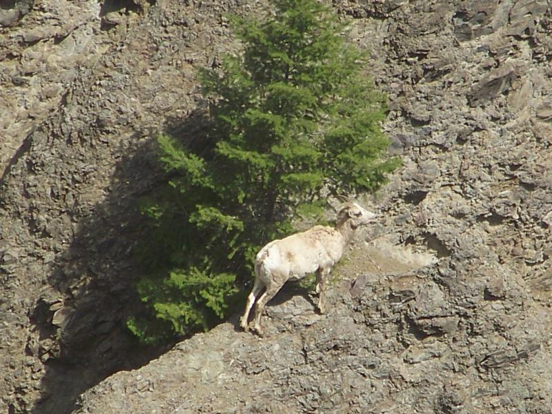 Mountain goat in Yellowstone National Park