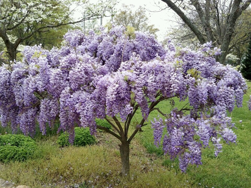Trying To Grow Wisteria In A Pot Will It Work Any Wisteria