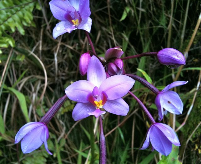 purple wild orchid on Maui