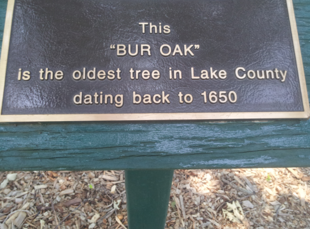 Oldest Tree in Lake County, Located in Long Grove