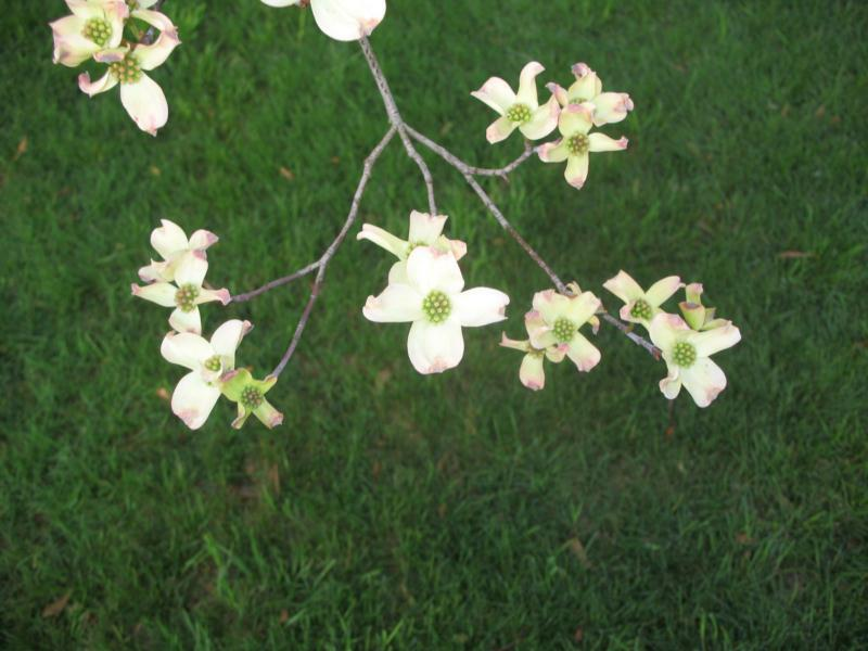 april dogwood blossoms in knoxville tn, jim lee knoxville area realtor