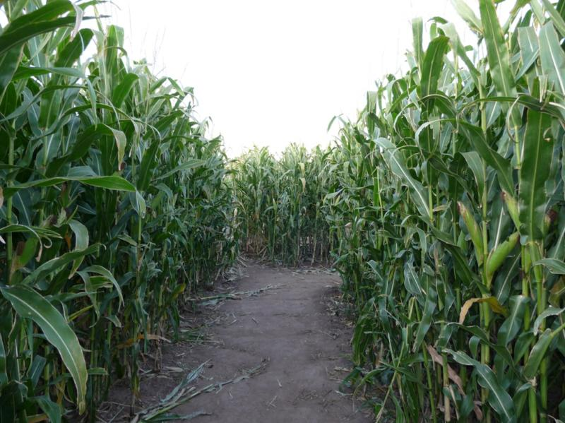 It 39 S A Jungle Out There A Corn Maze In Littleton Co