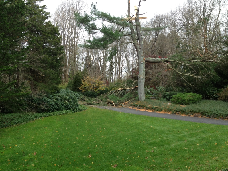 Eason White Pine down in Hurricane Sandy 2012