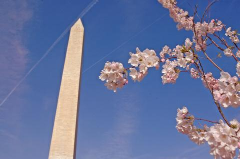 Washington monument amidst the blossoms