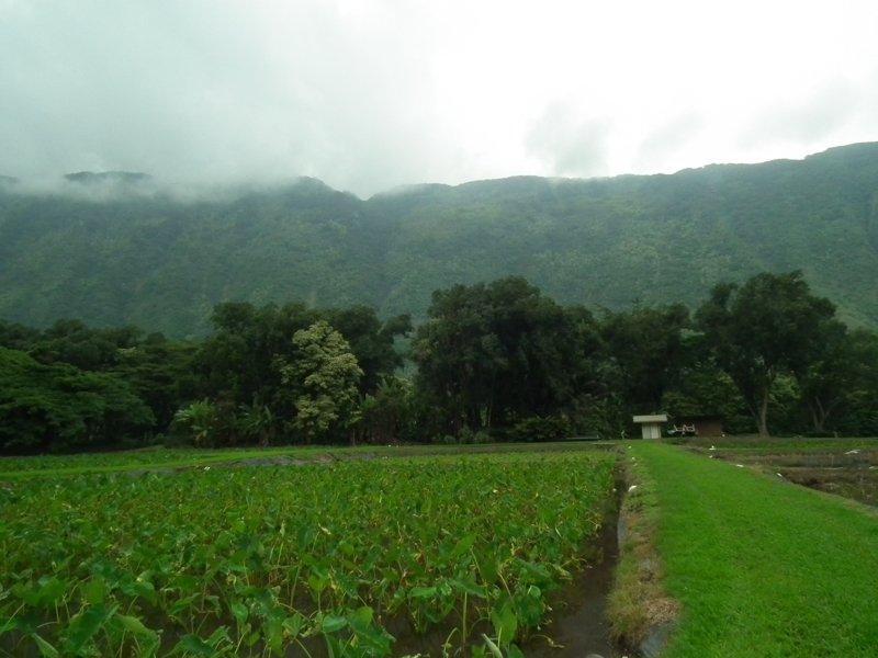 Loo Taro Farm Waipio Valley Hawaii