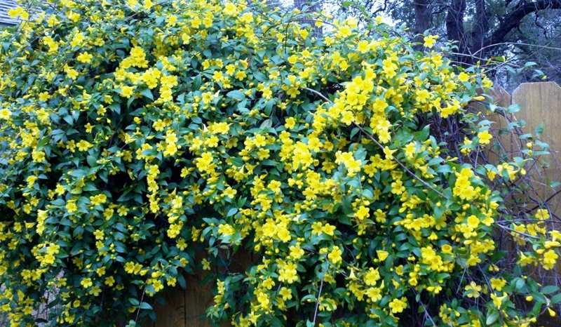 Early spring in austin texas yellow flowering shrub mightylinksfo