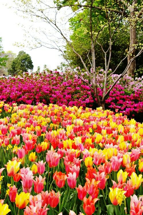 A sea of flowers at the Dallas Arboretum