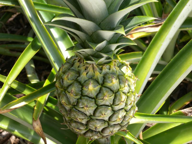 growing pineapples in south florida. Black Bedroom Furniture Sets. Home Design Ideas