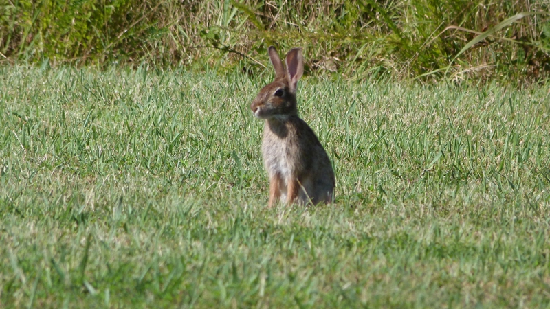Bunny at Occoquan Bay Wildlife Refuge