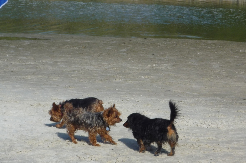 Yorkies at Bonita Beach Dog Park