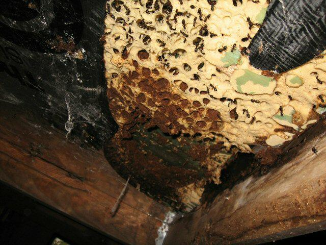 are seeing is Carpenter Ants that have infested rigid foam insulation.