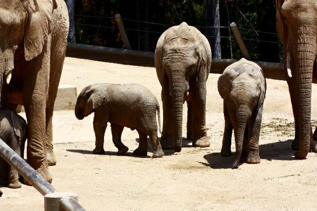 Baby elephants at the San Diego Wild Animal Park