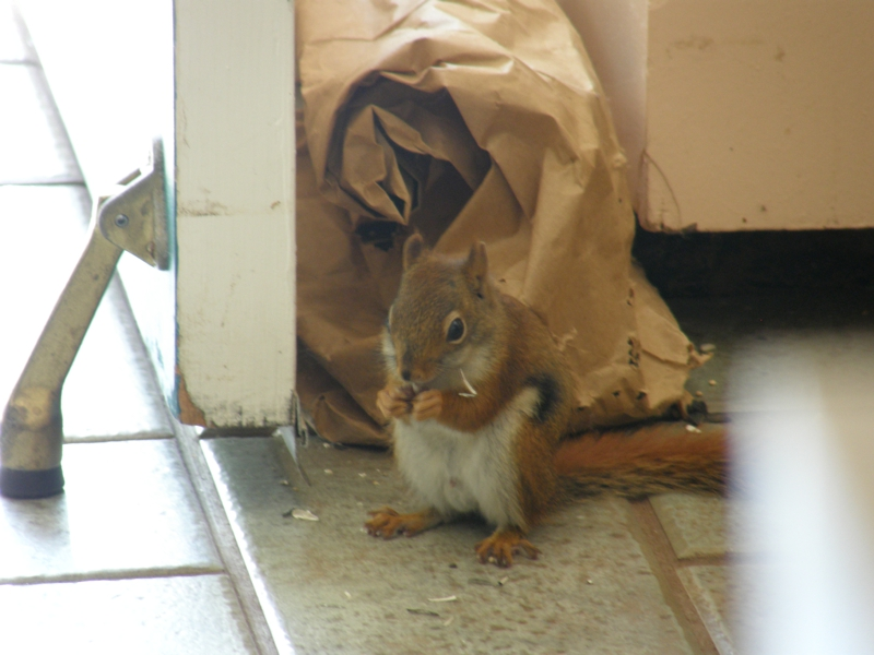 Red Squirrel In The Kitchen