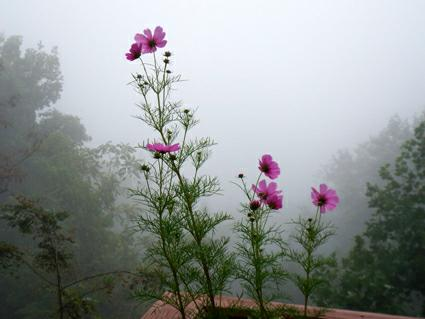 a bloom in the fog