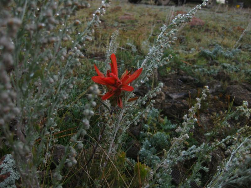Indian Paintbrush In Colorado