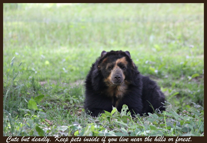 Those Bears in Your Backyard are not like Yogi.....Be Careful