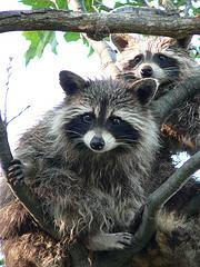 2 raccoons in a tree