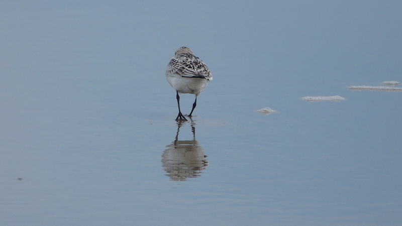 Lone Sandpiper at OBX in the fall