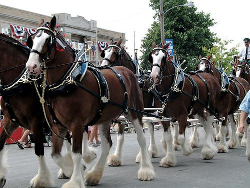 Clydesdales are Coming!