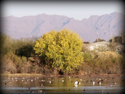 Winter visitors at the Riparian Preserve in Gilbert AZ