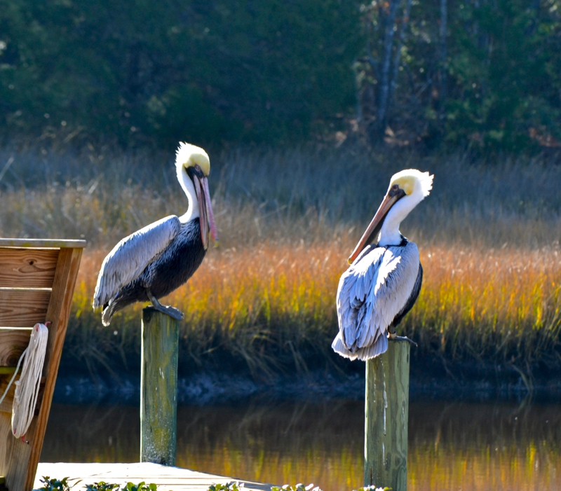 Talking Pelicans