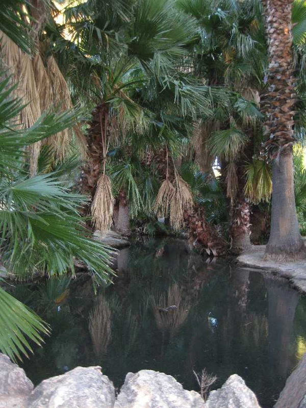 Palm trees and pond areas at Agua Caliente Park
