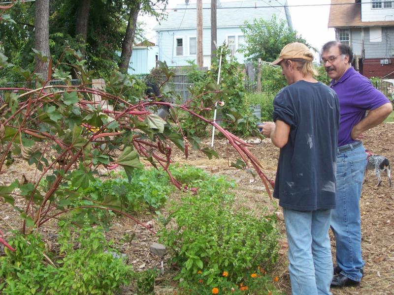 Red Okra growing in the Crosbie Heights garden
