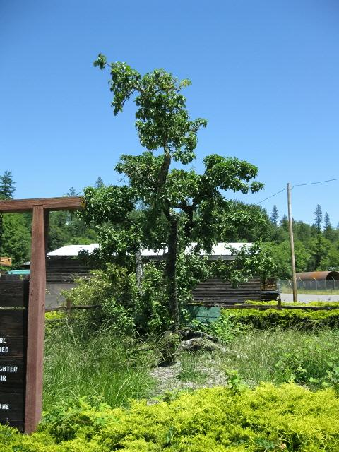 "Josephine County Historical Society ""Passport To History"" - Haines Apple Tree"
