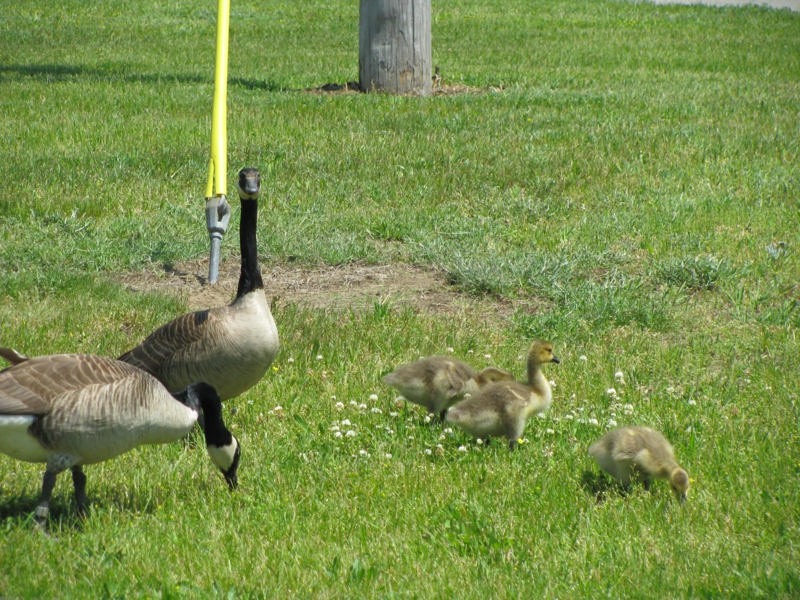 Geese in Battle Creek