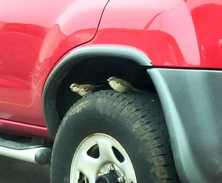 2 little sparrows sitting on a SUV tire