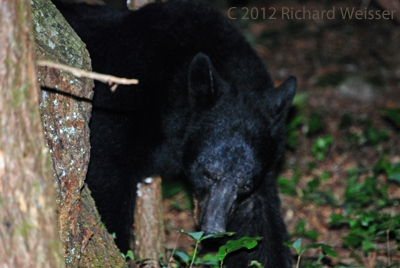 Black Bears in the Great Smoky Mountains by Richard Weisser.