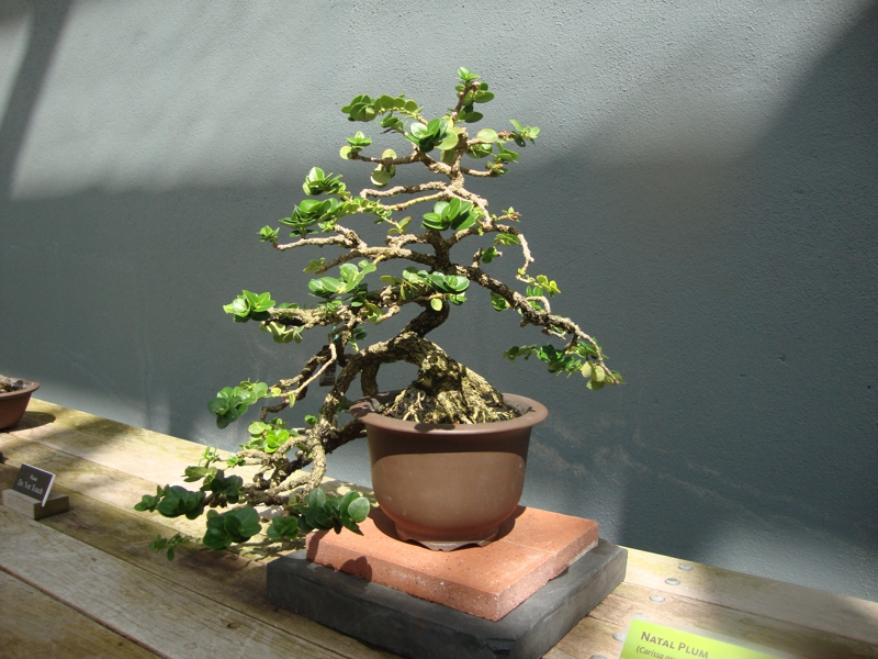 Name That Photo Bonsai Tree In Brooklyn Ny By New York Feng Shui Consultant