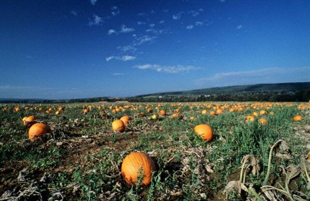 Pumpkin Patch,Pumpkin Farms
