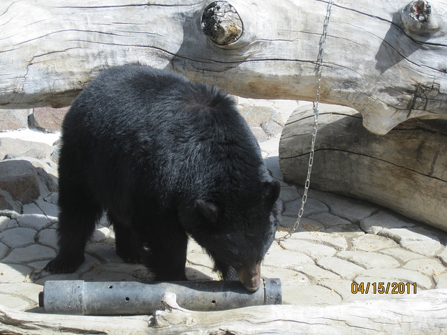 Reno MLS Black Bear