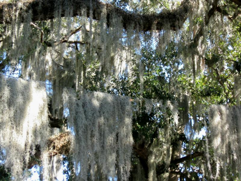 Florida Plants, Spanish Moss