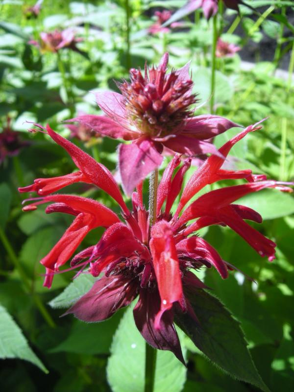Bee Balm is a part of American History