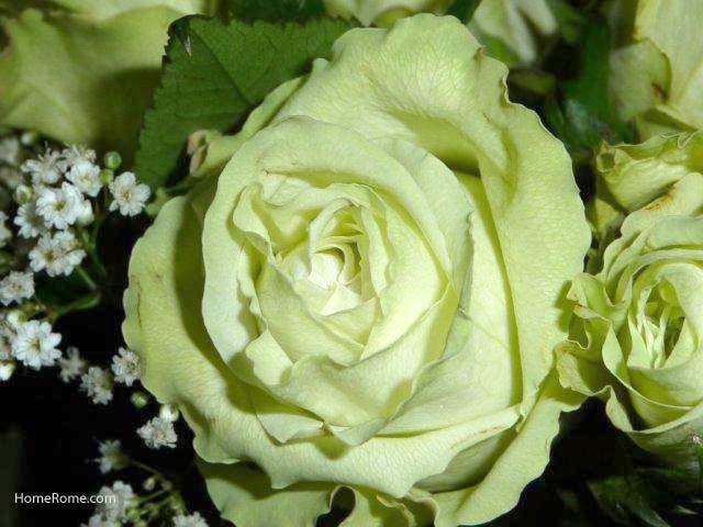 Green Rose 2