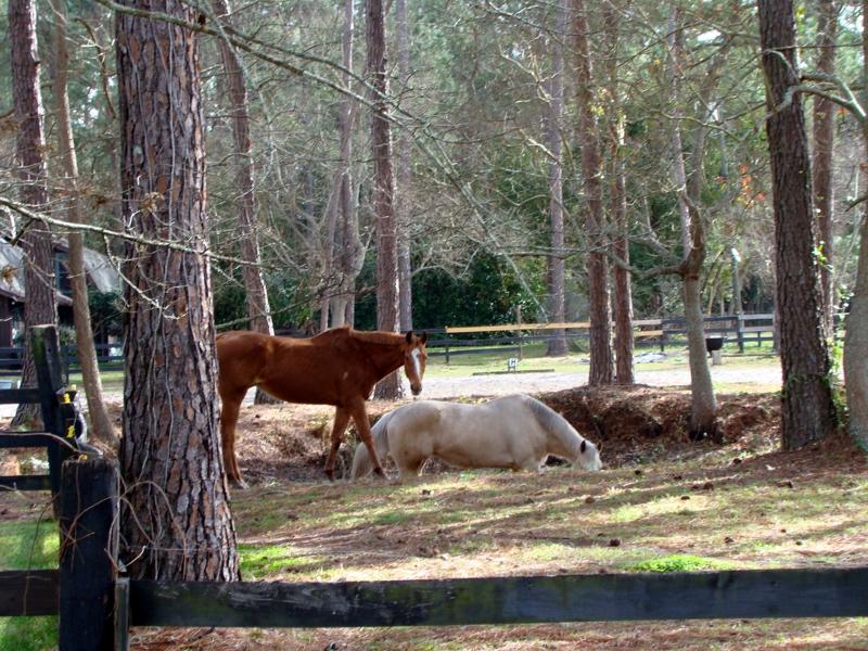 Horses in Lake Asbury