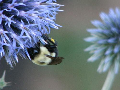 maine flowers bumble bee