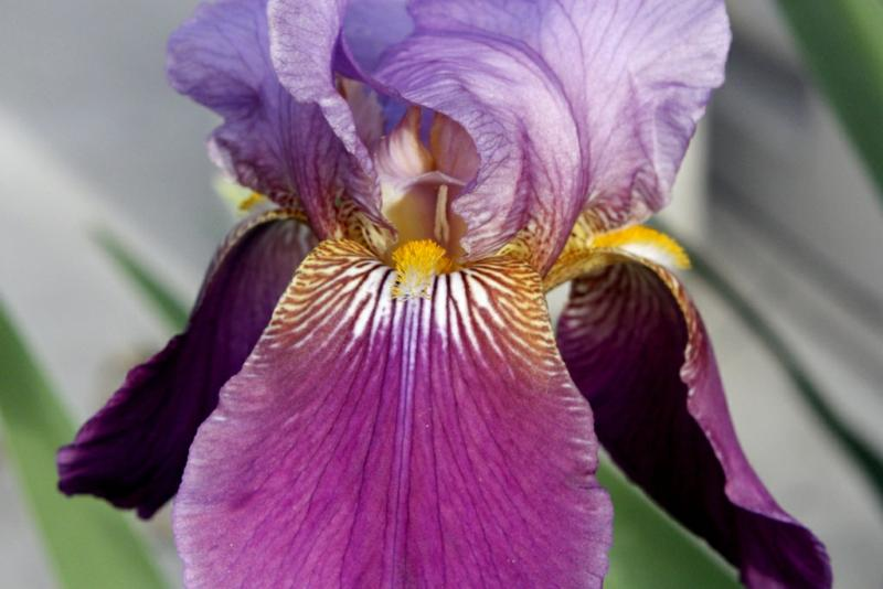 Iris growing in San Diego, California