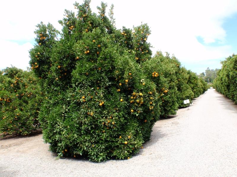 Orange Grove in Tarzana #4 by Endre Barath,JR