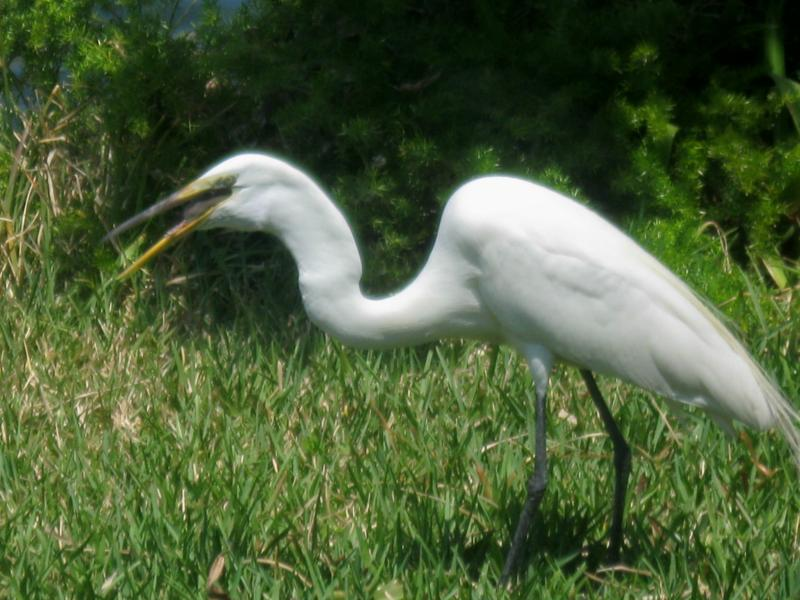 Florida Birds, Egret