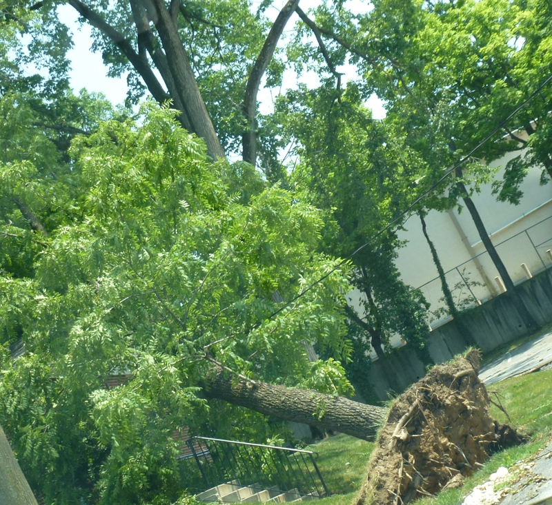 Uprooted tree in Baltimore 6.30.12